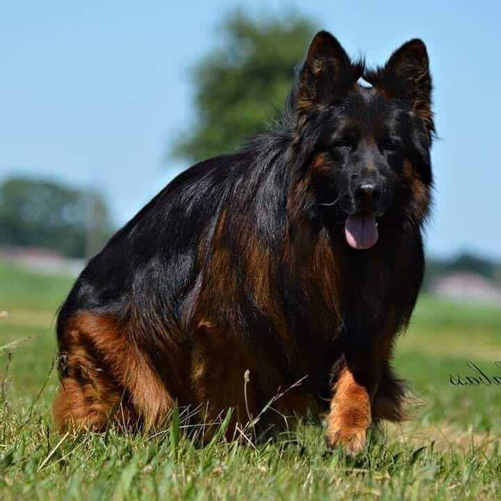Your Ultimate Guide To The Long Haired German Shepherd